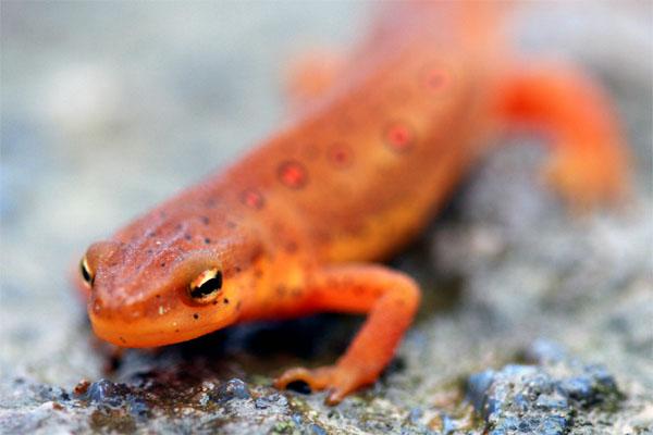salamander front view